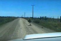 Sorpresa en un camino entre Tandil y Rauch: apareció un ñandú a 55 km/h