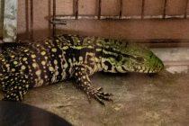 Un joven compró un lagarto y se lo mandaron en una encomienda