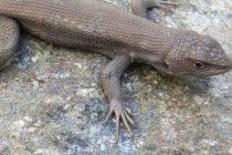 El Bioparque trabaja en el Programa de Conservación de Reptiles