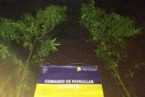 Encontraron dos plantas de marihuana arriba de un techo