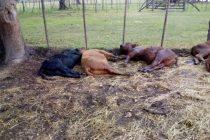 Impactante: cayó un rayo en Tapalqué y mató a varios terneros