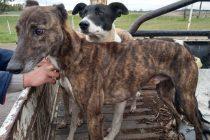 Infraccionaron a varias personas por incumplir el aislamiento  y cazar sin permiso con perros galgos