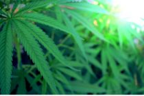 Mesa de cannabis: se cambiara la sede del taller de cultivo doméstico
