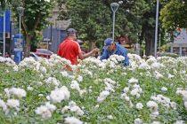 Se realizará la poda de rosas en la Plaza Central