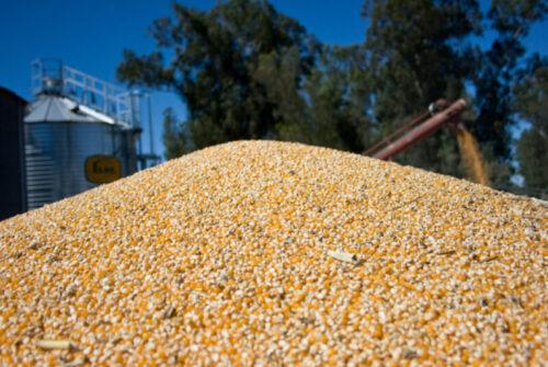 El Gobierno limitó las exportaciones de maíz